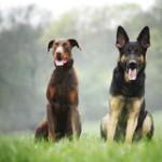 german-shepherd-brown-doberman-pinscher-40433520