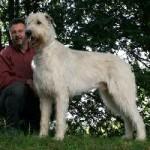 irishwolfhound3